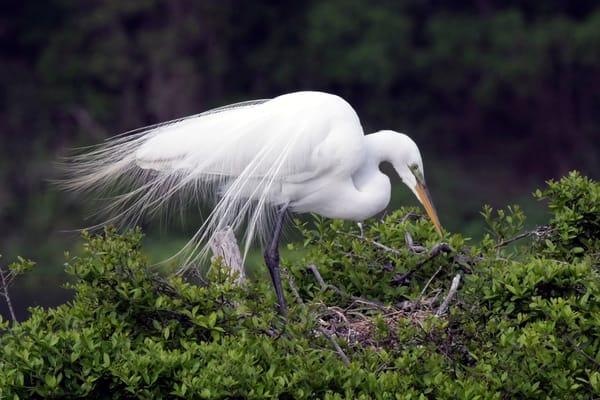 PBuzenius-Great-White-Egret