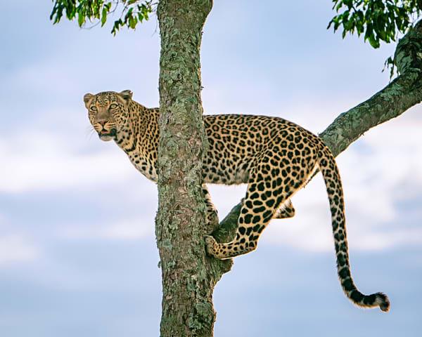 The Leopardess Named Lorian Photography Art | Carol Brooks Parker Fine Art Photography