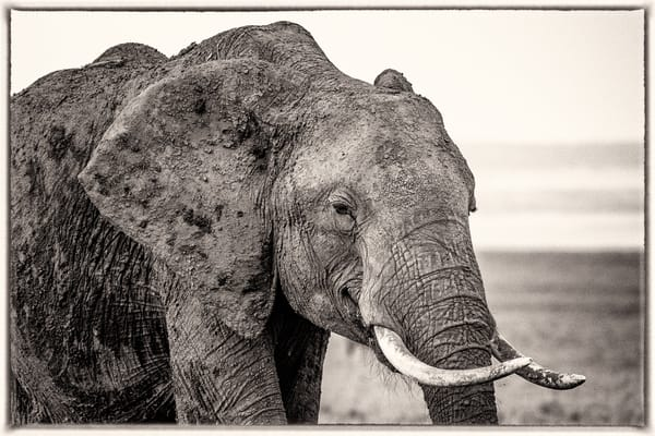 Elephant With Tusks, B&W Photography Art | Carol Brooks Parker Fine Art Photography