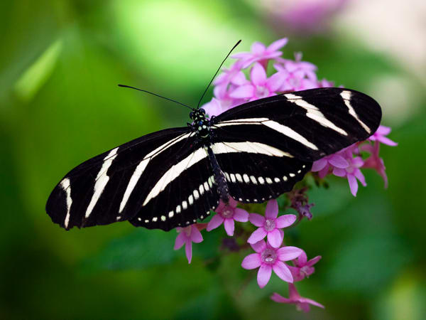 PBuzenius-Zebra-Longwing