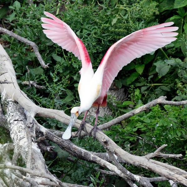 PBuzenius-Roseate-Spoonbill