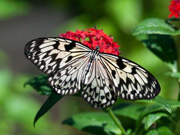 PBuzenius-Paperkite-Butterfly