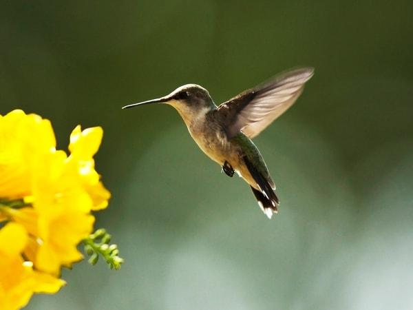 PBuzenius - Hummingbird