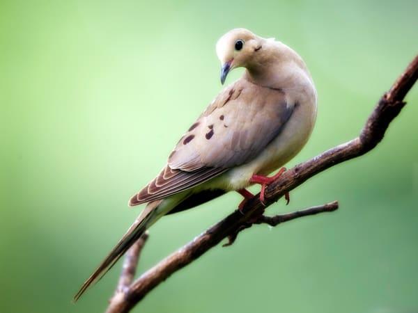 PBuzenius-Morning-Dove