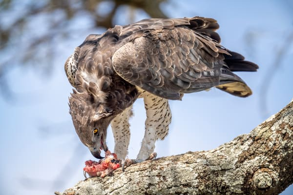 Martial Eagle With Prey Photography Art | Carol Brooks Parker Fine Art Photography