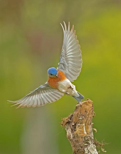 Touchdown   Eastern Bluebird Photography Art | Jim E Johnson Photography