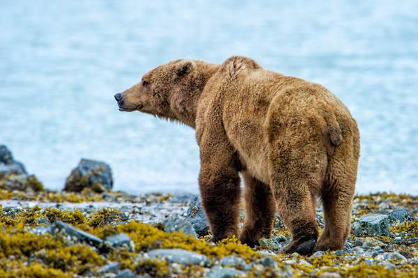 Coastal Brown Bear Photography Art | Carol Brooks Parker Fine Art Photography