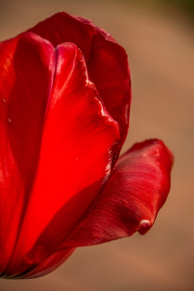 NRyder-Curly-Red-Tulip