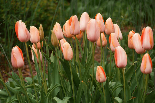 NRyder-Field-of-Peach-Tulips