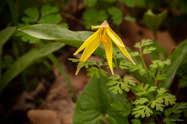 Yellow Trout Lily 6452 Art | Koral Martin Fine Art Photography