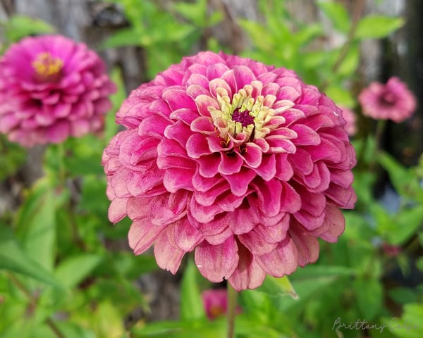 The Queen Zinnia