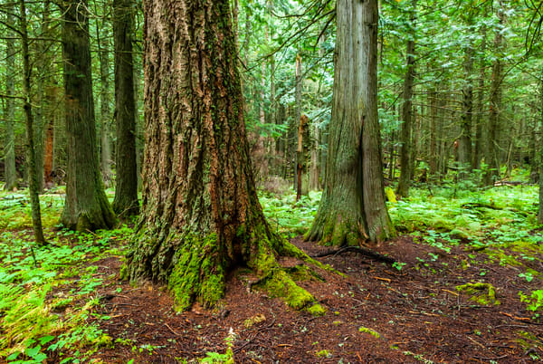 Trail Of The Cedars Art | Brandon Hirt Photo