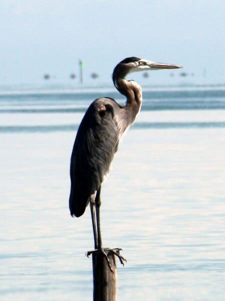 CPerkins-Great-Blue-Heron