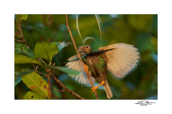 Standardwing bird of paradise photograph for purchase.