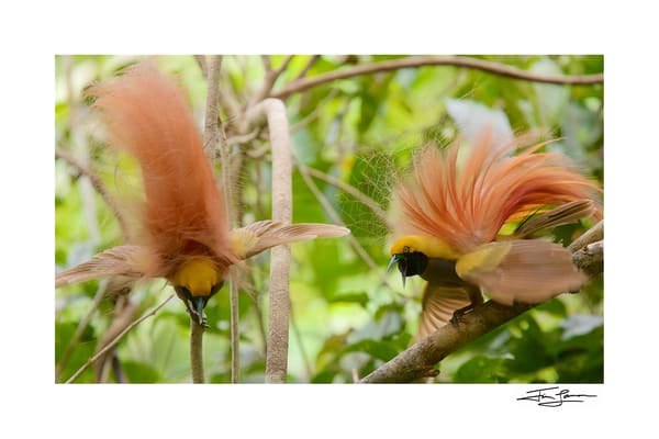 goldie's bird of paradise photograph, available as art.