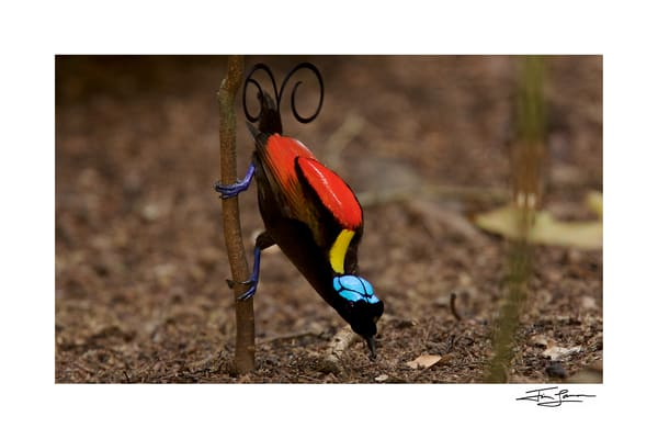 Wilson's Bird-of-Paradise, colorful bird art for your home.