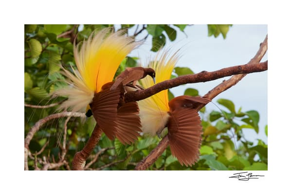 Greater bird of paradise photographic print for purchase.
