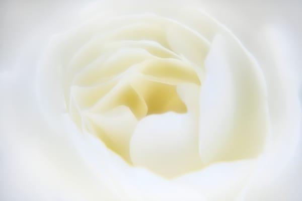 A Rose for Rudi Pure White Rose