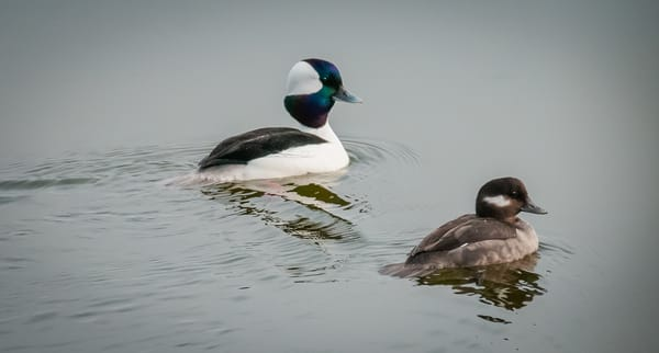 Buffleheads Photography Art | Monteux Gallery