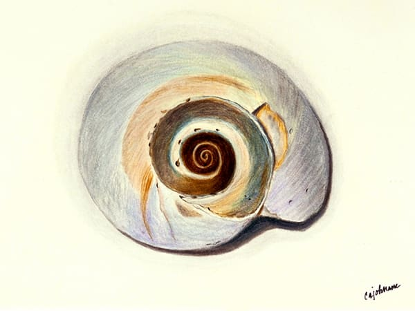 Shells - Nautilus - Framed Prints