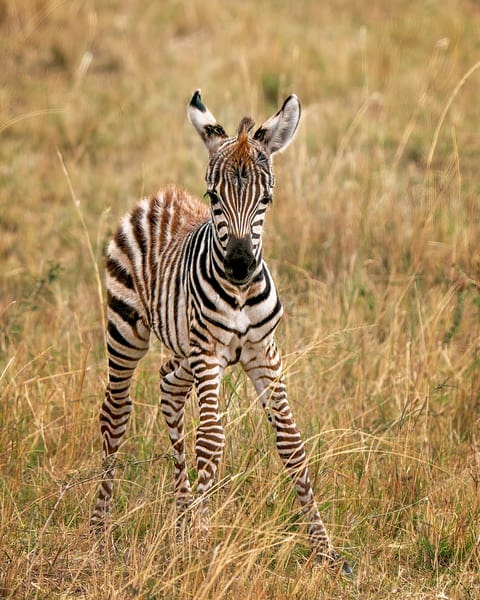 Zebra Foal Photography Art | Carol Brooks Parker Fine Art Photography