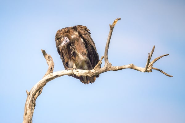 Hooded Vulture Photography Art | Carol Brooks Parker Fine Art Photography