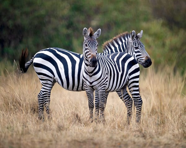 Two Zebras In The Rain Photography Art | Carol Brooks Parker Fine Art Photography