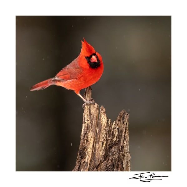 Photo of red bird on stump.  National Geographic photographer
