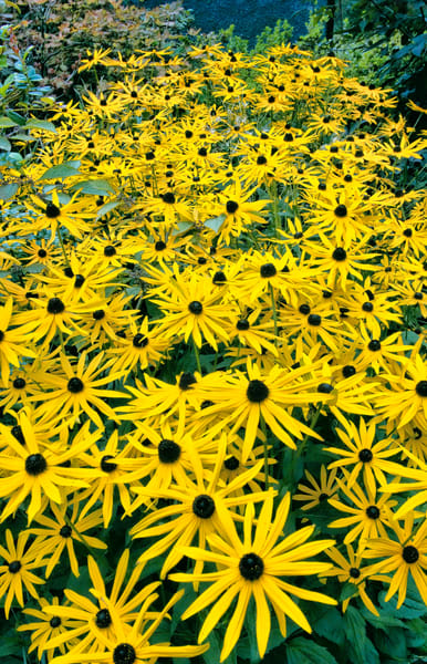 Black Eyed Susans, Vancouver Art | Best of Show Gallery