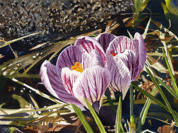 Zebra Crocuses