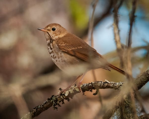 Hermit Thrush Photography Art | Monteux Gallery