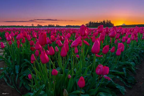 Tulip Trifecta Art | Jeffrey Knight Photography