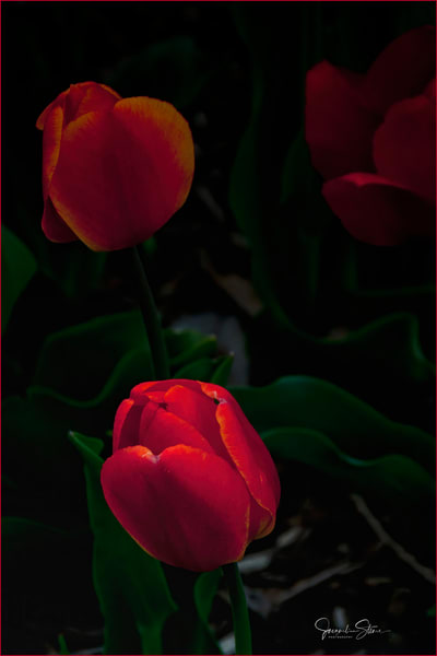 JStoner-Red-Red-Tulips