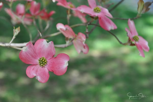 JStoner-Pretty-Pink-Blossoms
