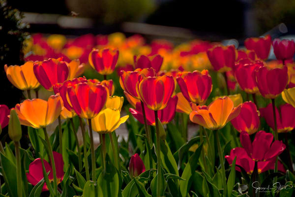 JStoner-Sun-Filled-Tulips