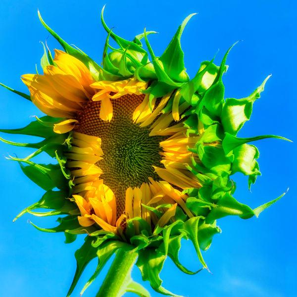Sunflower Series06 Photography Art   Mark Steele Photography Inc