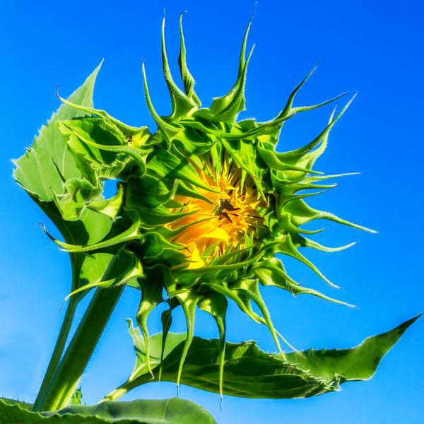 Sunflower Series10 Photography Art   Mark Steele Photography Inc