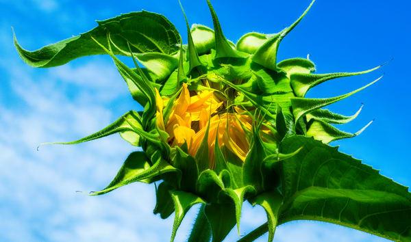Sunflower Series11 Photography Art   Mark Steele Photography Inc