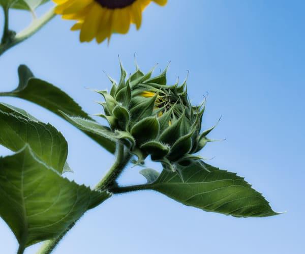 Sunflower Series12 Photography Art   Mark Steele Photography Inc