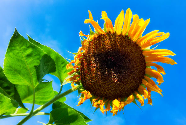 Sunflower Series24 Photography Art   Mark Steele Photography Inc