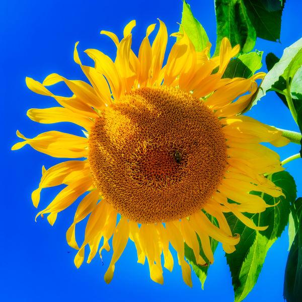 Sunflower Series22 Photography Art   Mark Steele Photography Inc