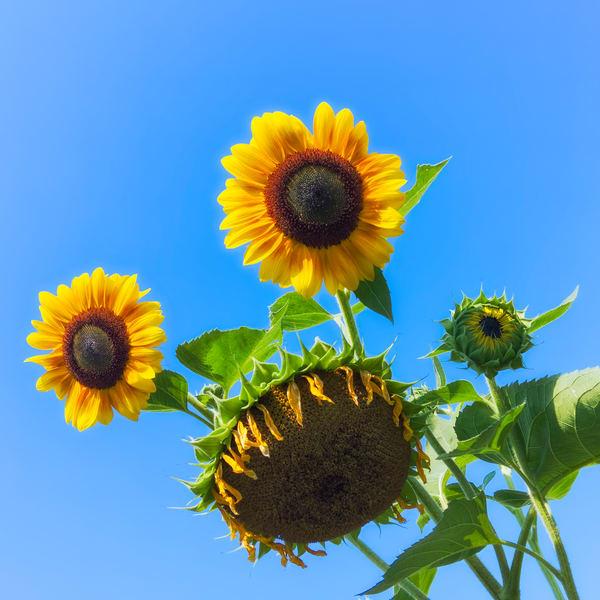 Sunflower Series21 Photography Art   Mark Steele Photography Inc