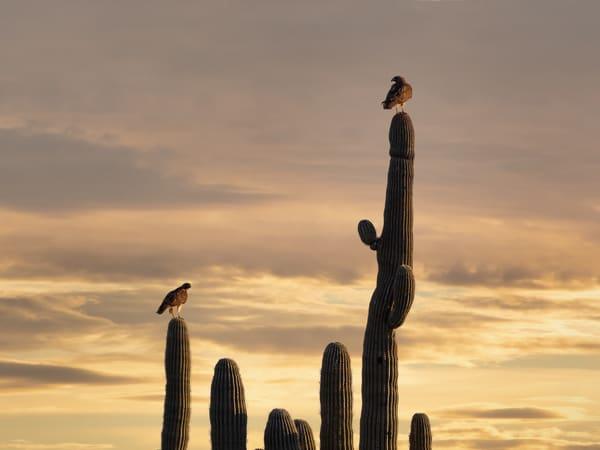 A Pair of Hawks