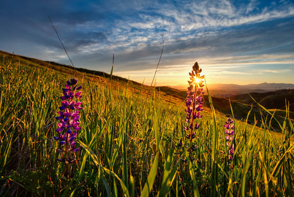 Lupine Sun Photography Art | Chad Wanstreet Inc