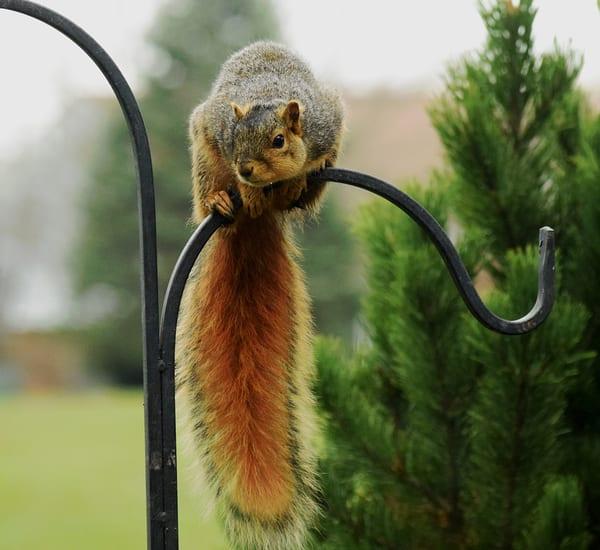Bird Feeder Squirrel2 Art | DocSaundersPhotography
