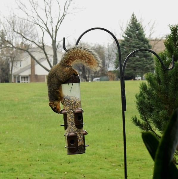 Bird Feeder Squirrel 4jpg Art | DocSaundersPhotography