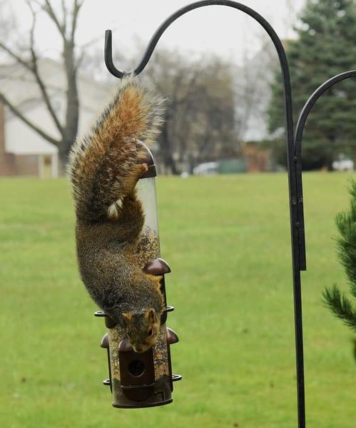 Bird Feeder Squirrel 3jpg Art | DocSaundersPhotography