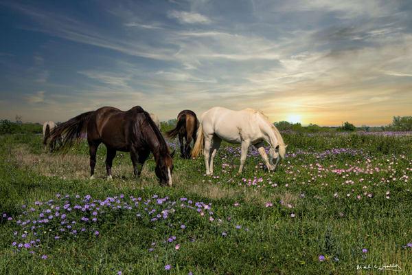 art, fine art, contemporary, horses, photography, sunset, grazing, bluebonnet, flower, wildflower