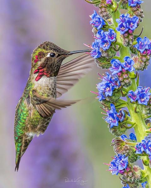 A Portrait of Anna's Hummingbird