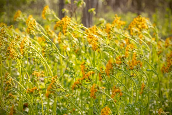 Yellow Wildflowers Blowing 6931   Photography Art | Koral Martin Healthcare Art